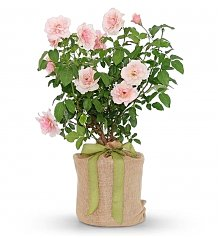 Plants: Mother of Pearl Rose Bush